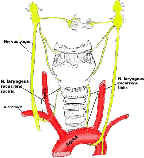 nerw - b u0142 u0119dny - anatomia - krew